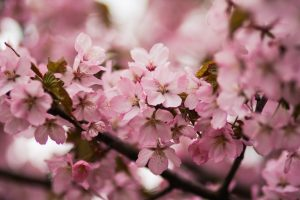 cherryBlossomBloom